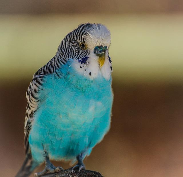 blue-parakeet-204698_640